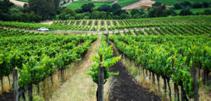 vineyards31