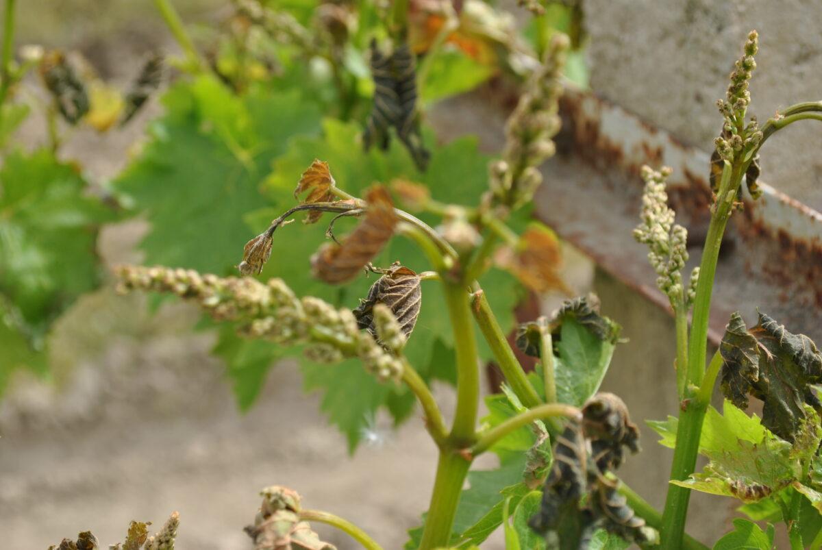 Turkish Vine Fruit - The Frost Report - April 2015