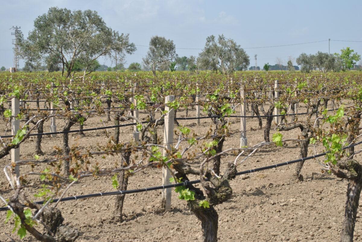 Turkish Vine Fruit Frost Report PDF & Photos