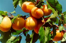 Turkish Apricot Market Update