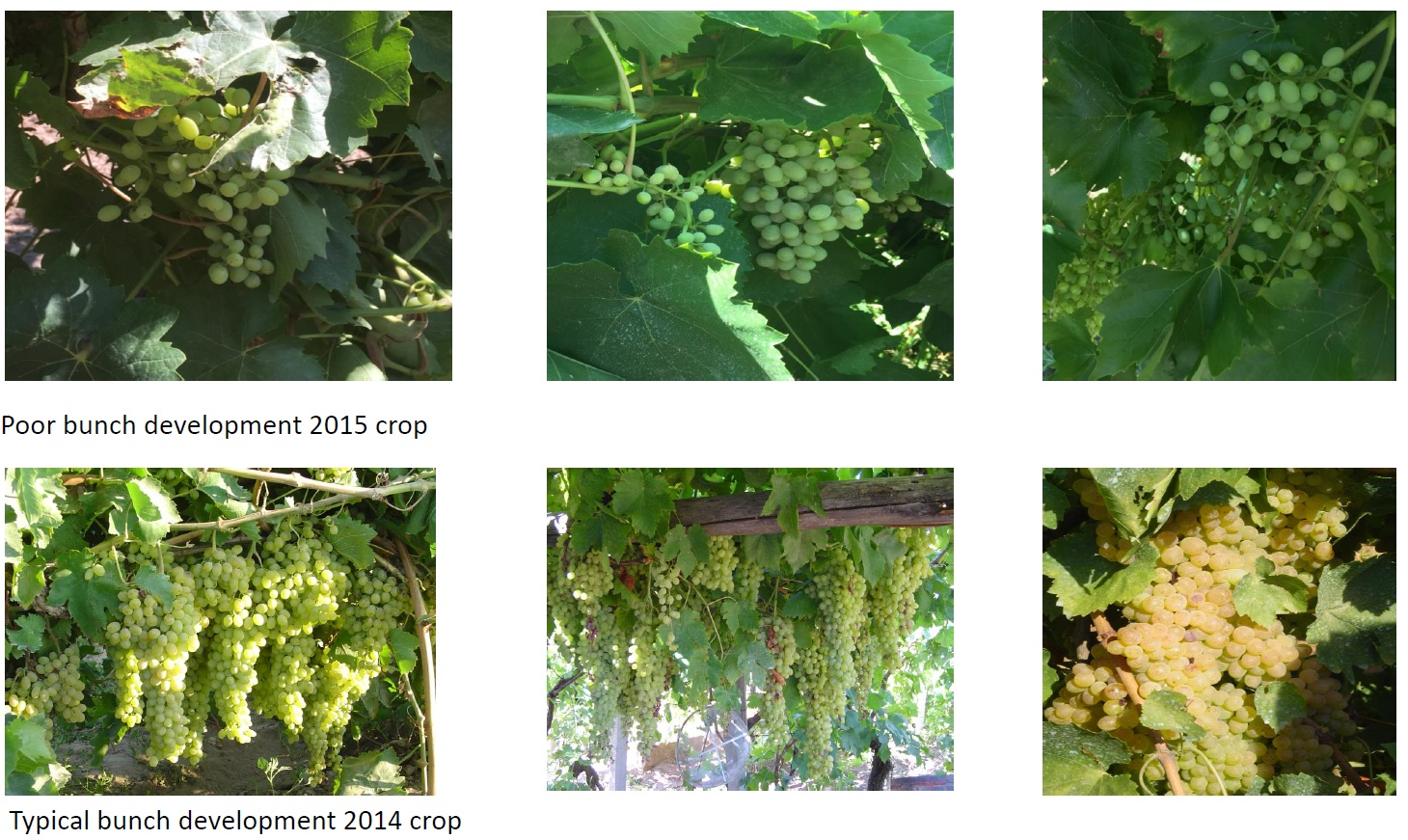 2015 Grape Bunch Development July 2015