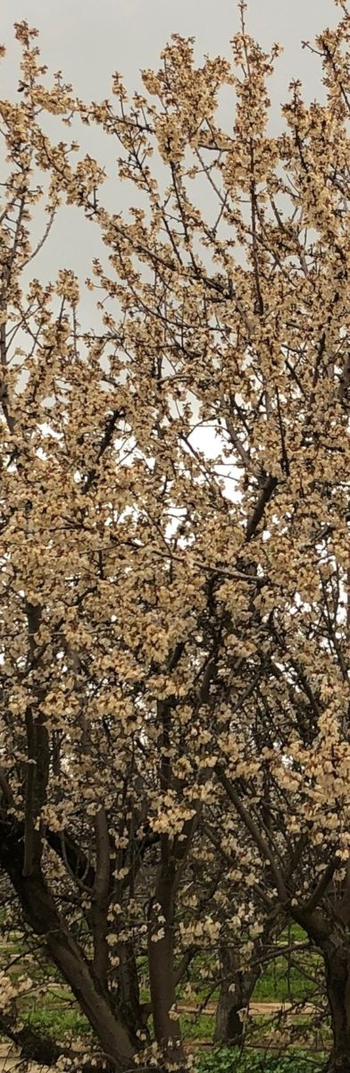 Californian frost affecting almond orchards
