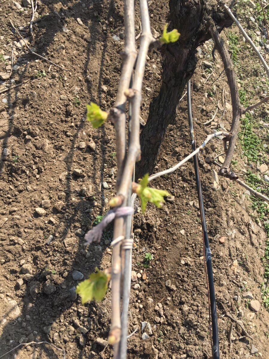 Turkish Vine Fruit Weather Warning
