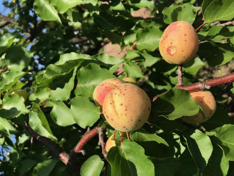 Malatya Apricot Crop Survey 2018
