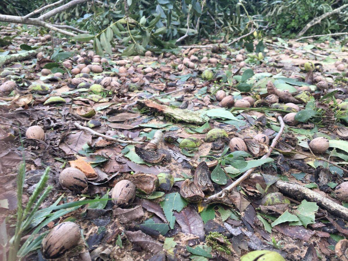 Hurricane Michael causes havoc in pecan growing area around Georgia