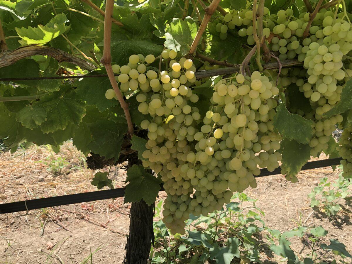 Turkish Vine Fruit Update