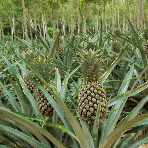 Pineapple Update January 2020