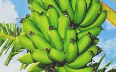 Banana Chip Update- Philippines