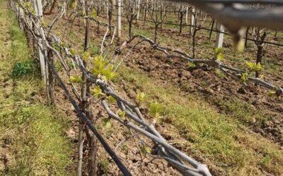 Vineyard Observation Report April 2020