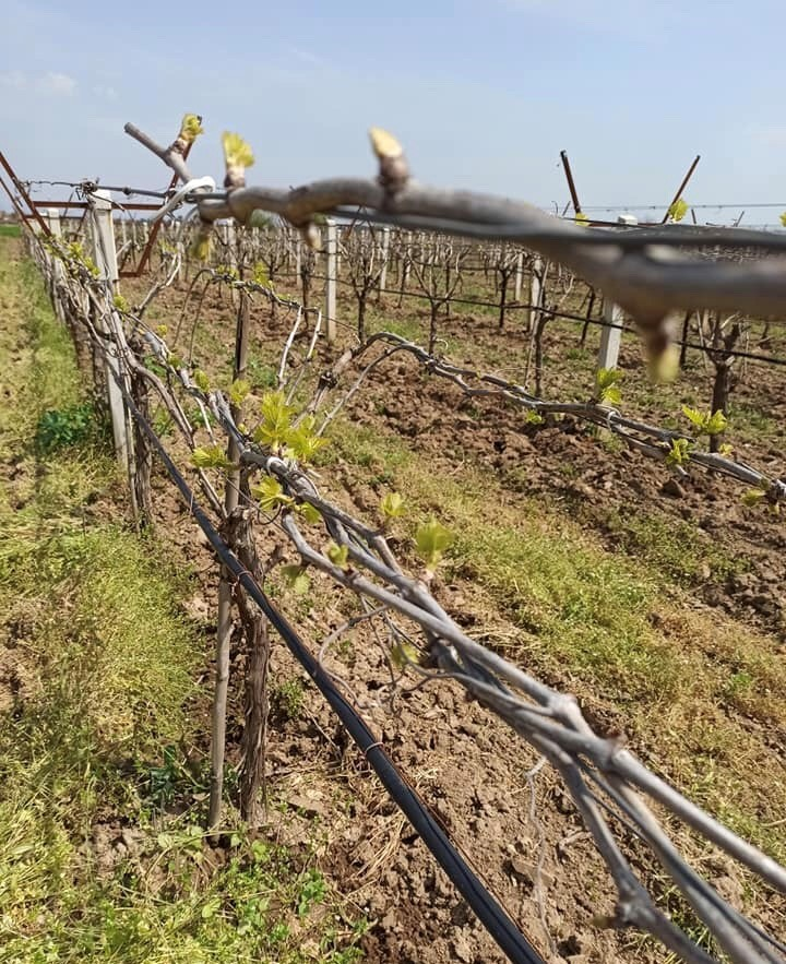 Vineyard Observation Report April 2020