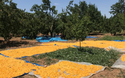Turkish Apricot Harvest Report