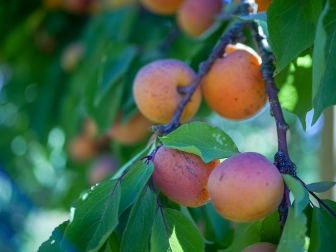February Market Report - Apricots