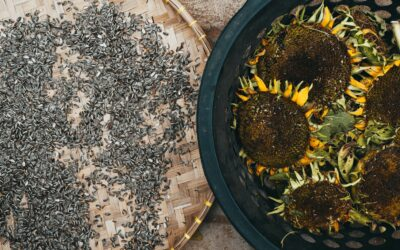 Sunflower Surge in Prices